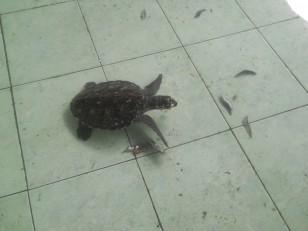 Gili Meno : La réserve de tortues