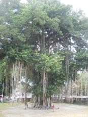 Un arbre gigantesque, juste en face du temple de Mendut