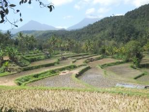 Des rizières