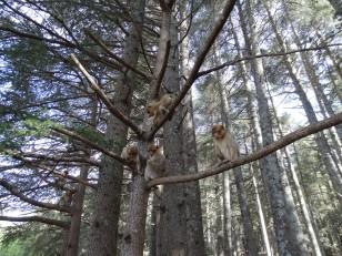 Azrou : Les singes Magots au Cèdre Gouraud