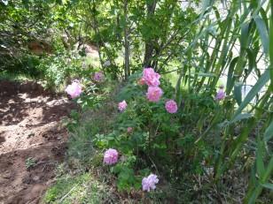 La vallée des roses : L'un des seuls rosiers que nous avons pu trouver
