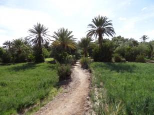 Skoura : La palmeraie