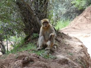 Ouzoud : Un singe Magot