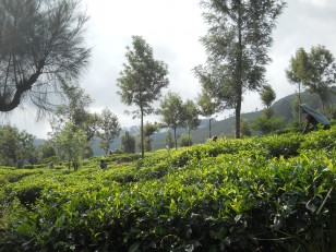 Haputale : Les plantations de thé