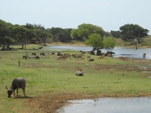 Le parc de Yala : Il est réputé pour ses animaux sauvages : ses buffles, ses daims…