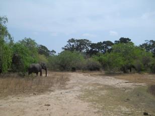 Le parc de Yala : Ses éléphants…