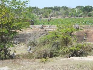 Le parc de Yala : Ses singes…