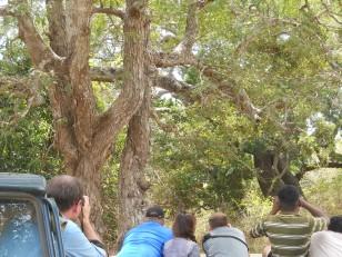 Le parc de Yala : Et ses léopards (juste au dessus de la dame) !