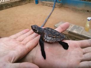 Koggala : La Sea Turtle Farm and Hatchery, avec ses bébés tortues