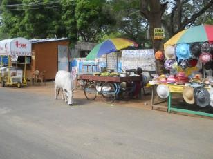 Mahabalipuram : Une vache sacrée en train de chaparder de la nourriture à une marchande