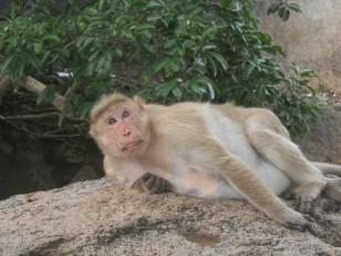 Mahabalipuram : Sur les hauteurs, on y rencontre même des singes…