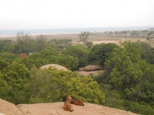 Mahabalipuram : Et des chèvres !