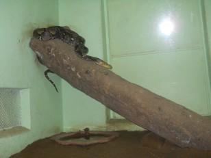Chennai : Le Guindy Snake Park. Il est possible d'y voir toutes les espèces de serpents en Inde…