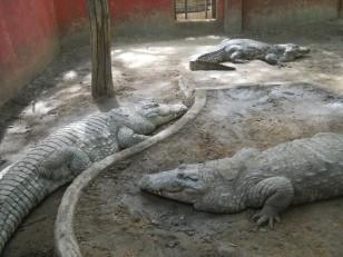 Chennai : Ainsi que quelques reptiles !
