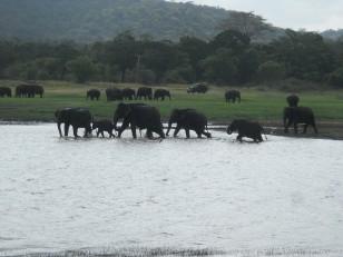Minneriya : Tous les ans, entre mai et septembre, une soixante d'éléphants se réunit pour se rafraichir autour du lac