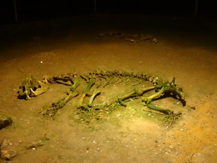 Monts Apuseni: … Mais aussi ses ossements d'ours!