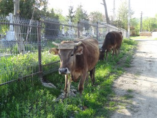 Tazlău: Des vaches sur le bord de la route