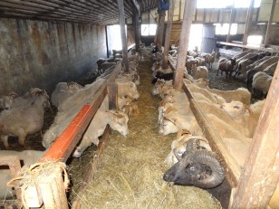 Le Nord de l'Islande : Les moutons de la ferme auberge Solvanes