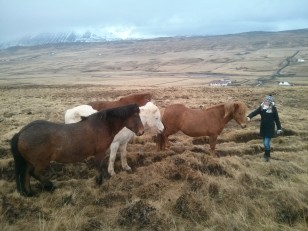 Le Nord de l'Islande : Les chevaux islandais de la ferme auberge Solvanes