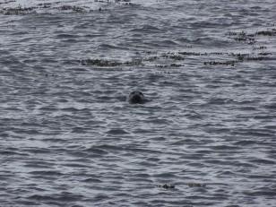 Le Nord de l'Islande : Un phoque